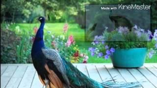 "GOOD MORNING peacock""whatsapp videos"