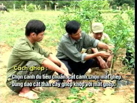 Kỹ thuật Ghép mắt , chiết cành trên cây  bưởi Phúc Trạch