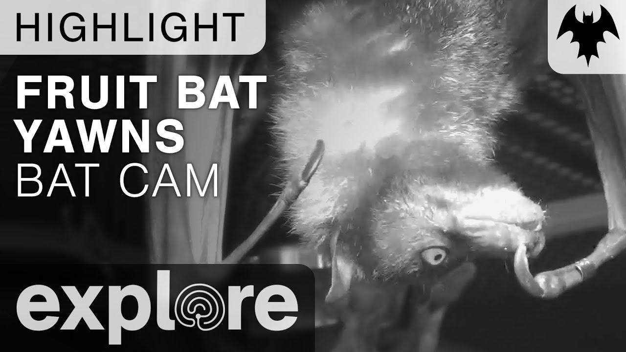 Fruit Bat yawns (funny bats) - Bats Live Cam Highlight 09.18.17