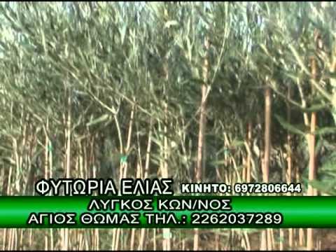 ΦΥΤΩΡΙΑ ΕΛΙΑΣ - Κ. ΛΥΓΚΟΣ - ΑΓΙΟΣ ΘΩΜΑΣ ΒΟΙΩΤΙΑΣ