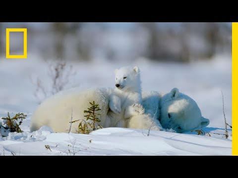 The Life of a Baby Polar Bear - Ep. 4 | Wildlife: The Big Freeze