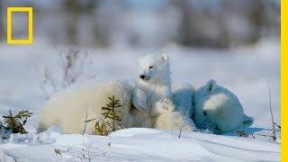 The Life of a Baby Polar Bear - Ep. 4   Wildlife: The Big Freeze