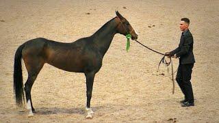 АХАЛТЕКИНСКАЯ порода ЛОШАДЕЙ. Кобылы старше 3-х лет. #ИППОсфера 2019 чистокровные #лошади