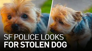 The Search Continues for Stolen Dog in San Francisco