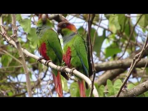 Tiriba-grande (Pyrrhura cruentata)
