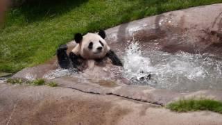 うわ〜!溺れる〜!?水浴びを楽しむパンダが人間くさすぎる