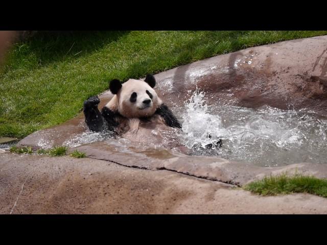 パンダの溺れ芸(白浜アドベンチャーワールドにて)