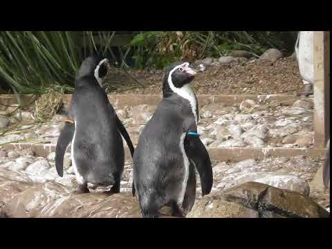 Twycross Zoo - Penguins