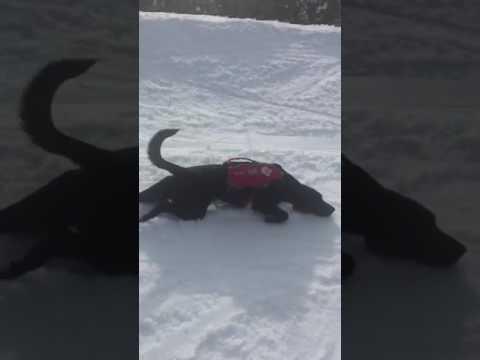 Mountain Rescue Dog Has Fun Sliding On Snow