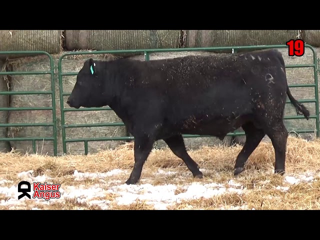 Kaiser Angus Ranch Lot 19