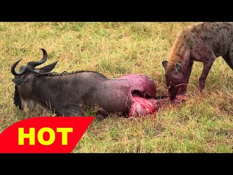 HD Lions Documentary    BigCat IN ACTION    AFRICA WILD   Lions,Leopard and more!