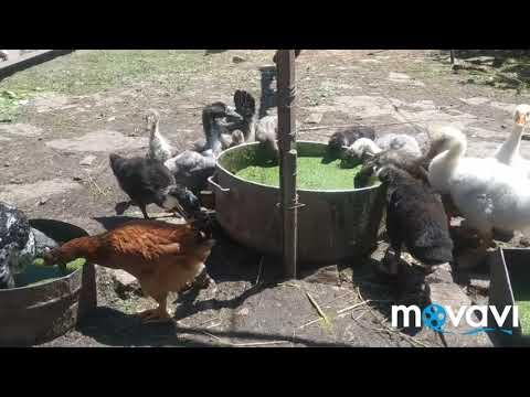 Ряска бесплатный корм для птицы