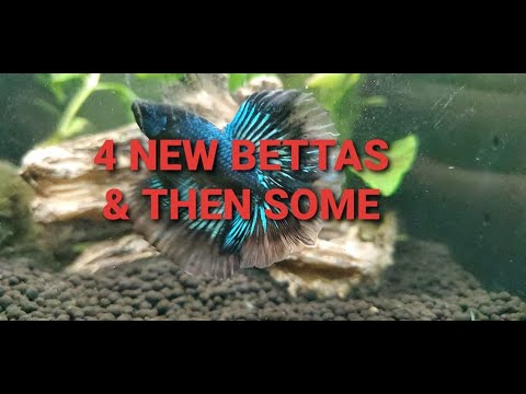 4 New Bettas & 2 African Dwarf Frogs