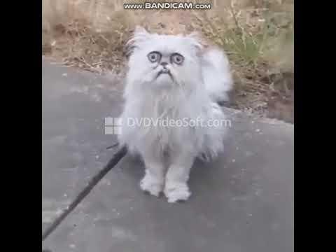 アメリカ人と変な顔の猫