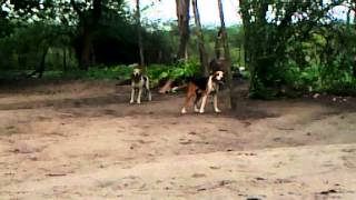 Foxhound Americano Com Beagle   Na Hora Da Saida