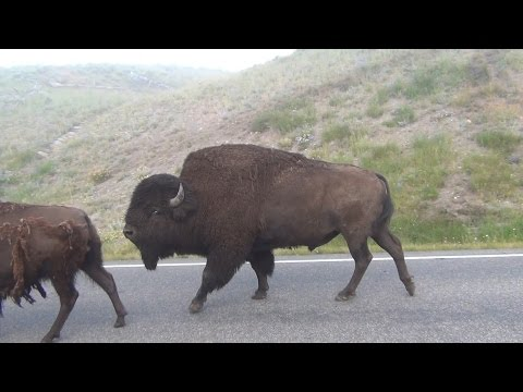 Bison herd at Yellowstone National Park