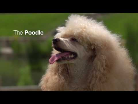 The Poodle | Royal Canin Breed Health Nutrition Wet