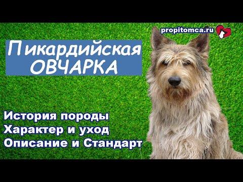 Пикардийская овчарка - курчавая французская собака. Описание и история породы
