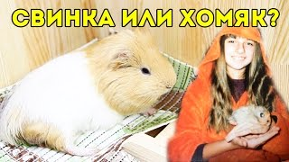 Какое Животное Завести - Морскую Свинку или Сирийского Хомяка?