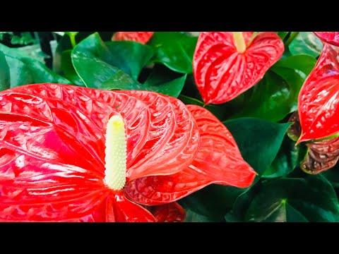Почему не цветёт Антуриум?уход, удобрения,грунт,полив-Мужское счастье