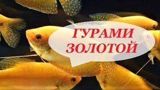 Аквариумные рыбки. Гурами Золотой. Содержание, размножение, совместимость