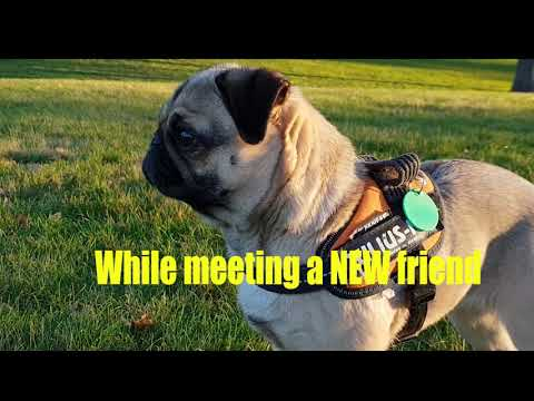 """Pug 'Muffin"""" Meet Cane Corso, Boxer and Bully Dog in the Park"""