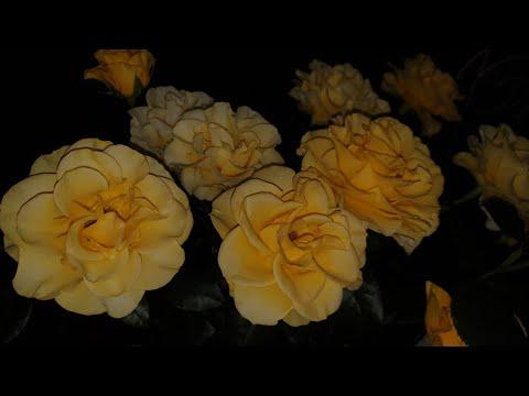 Обзор 37 сортов роз. Говорю о каждой ��
