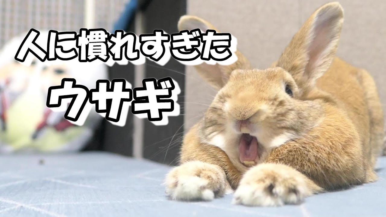 人に慣れすぎたウサギは驚くほどの仕草を見せます