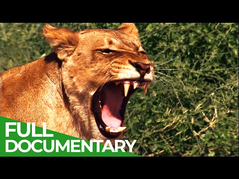 Lions vs. Elephants - Life on the Edge | Free Documentary Nature