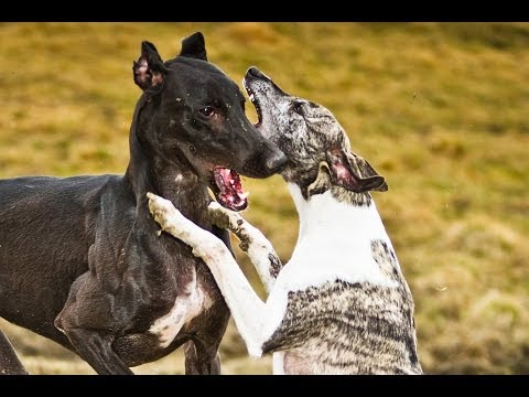 Whippet Dog Breed 2017...