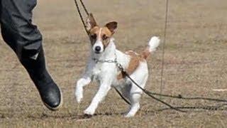 山口県警の嘱託警察犬の一匹に、小型犬ジャック・ラッセル・テリアのメ...