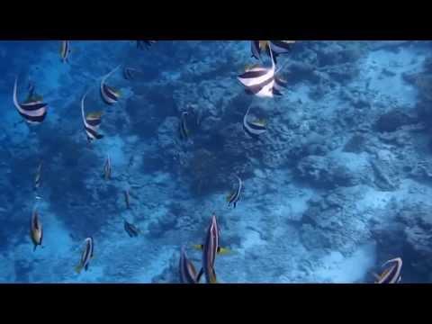 Schooling Banner Fish 3