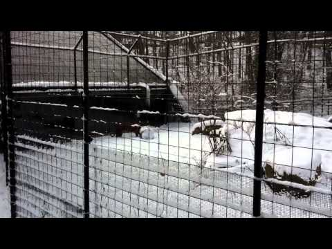 Siberian Tiger does some housekeeping in a snowstorm!