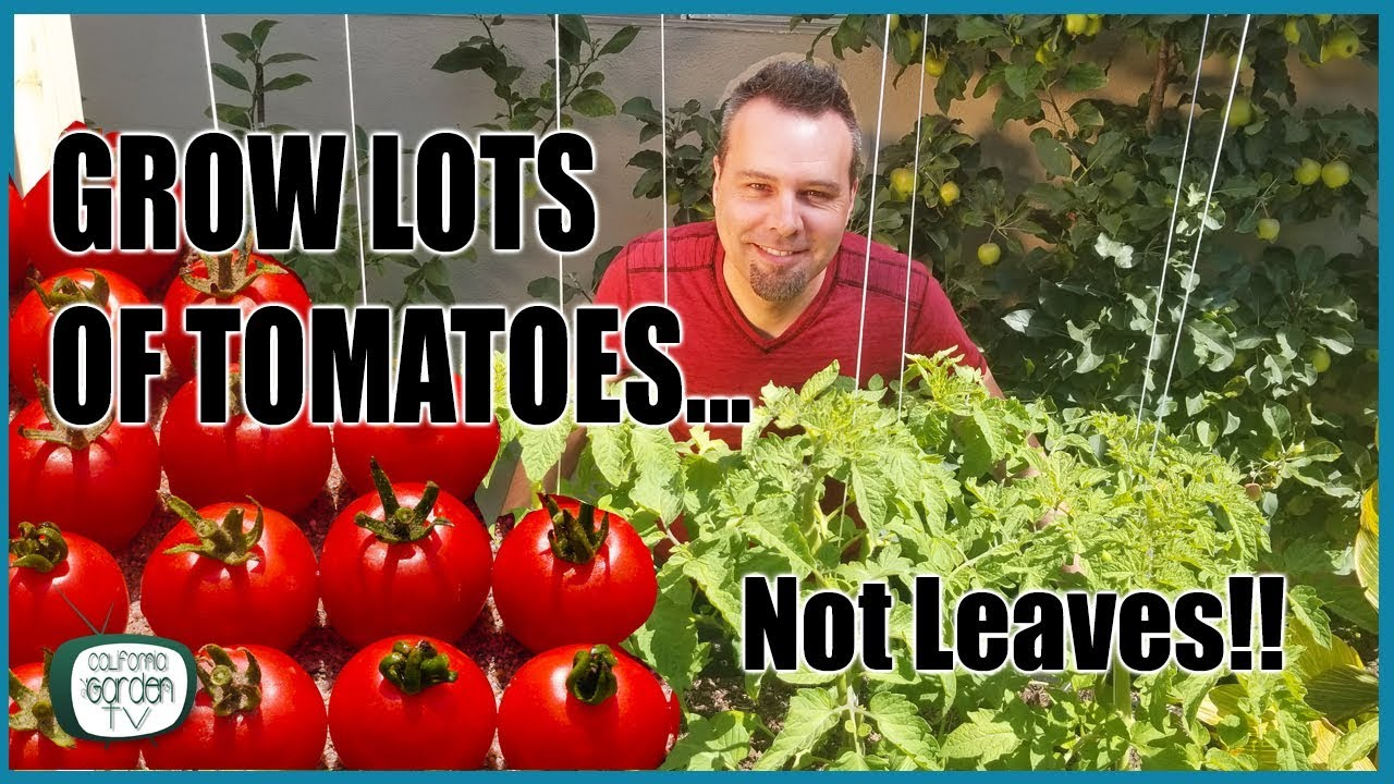 Download Grow Lots of Tomatoes... Not Leaves // Complete Growing Guide