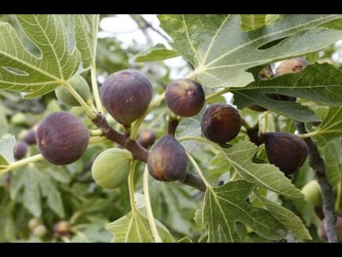 How To Grow Figs Complete Growing Guide