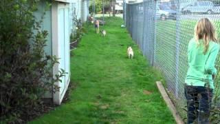 Greyhound Pug Race