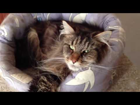 MAINE COON, BOMBAY & NORWEGIAN FOREST CAT Harmony