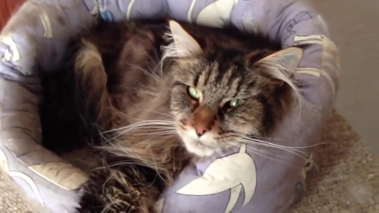 MAINE COON, BOMBAY & NORWEGIAN FOREST CAT Harmony - YouTube