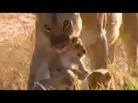 Lion cubs fight for survival - BBC wildlife