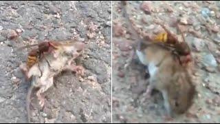لحظات مرعبة... «الدبور القاتل» يقضي على فأر في أقل من دقيقة