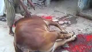 AHSAN.COW.QARBANI.3gp