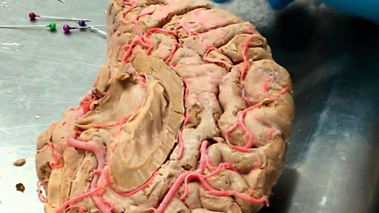 anatomia irrigacion del cerebro: arteria cerebral media Yesid - YouTube