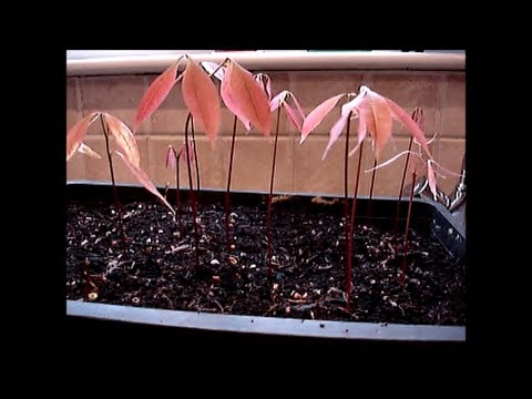 litschi die vermehrung ist ganz einfach lychee for bonsai doovi. Black Bedroom Furniture Sets. Home Design Ideas