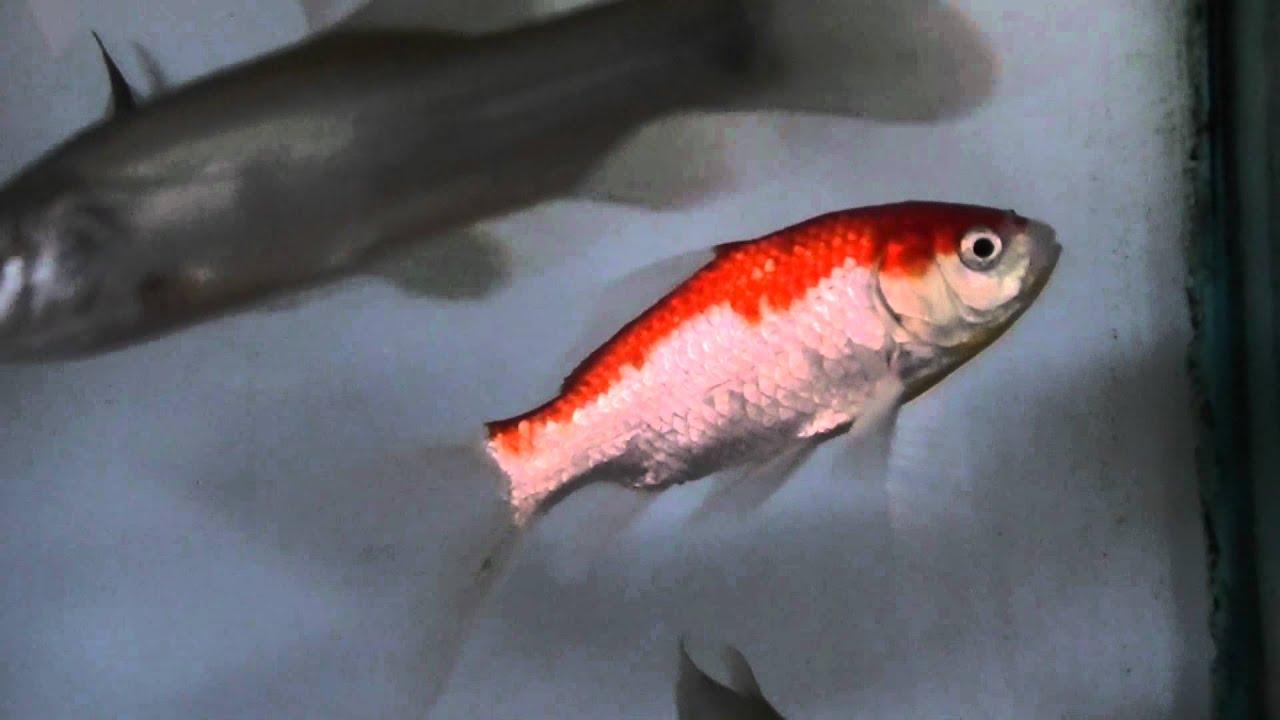Sarasa Comet Goldfish - YouTube