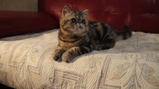 Exotic, brown tabby, male, 4 m (2)