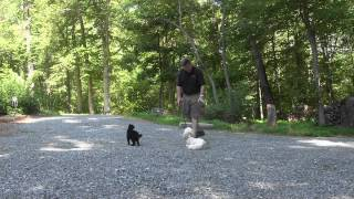 Sofie - Labradoodle Puppy Training Lewisville Nc