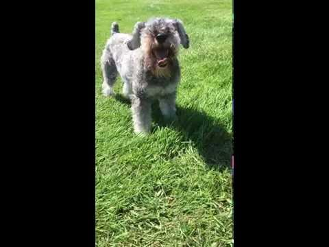 Vegetarian schnauzer eating organic grass