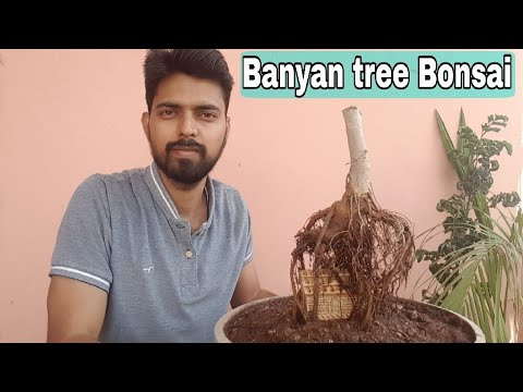 How to make Banyan tree bonsai, How to grow aerial roots in Banyan Bonsai