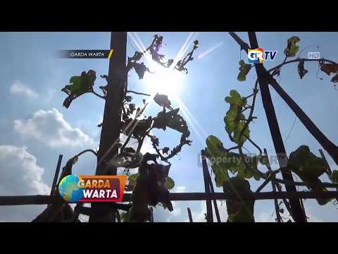 ngawi---akibat-cuaca-panas-petani-buah-melon-rugi