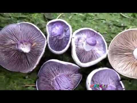 Какие грибы растут в октябре. Рядовки. Вешенки.